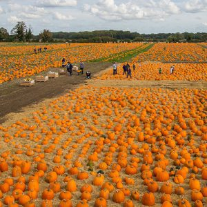 50-acre-site-pumpkins