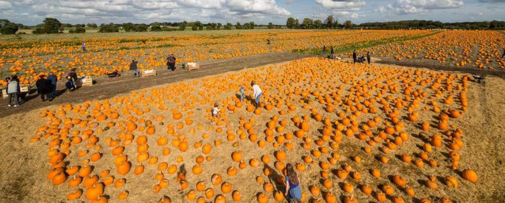 large-50-acre-site-pumpkins
