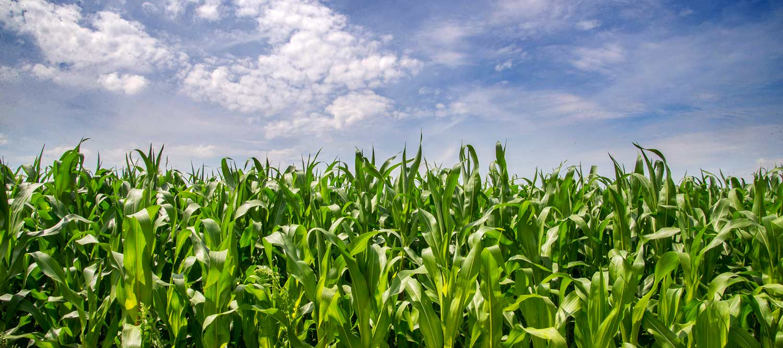 Supersize maize maze undley farm events voltagebd Image collections