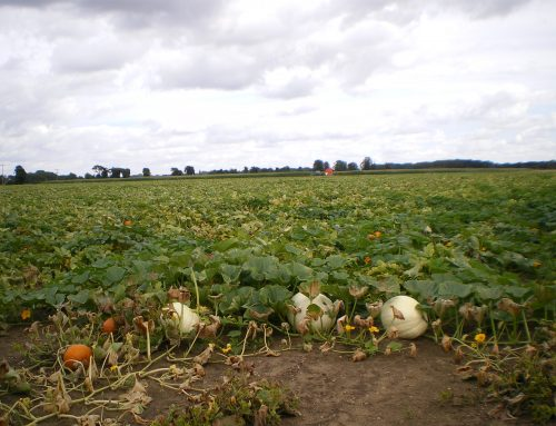 Pumpkin Crop Update
