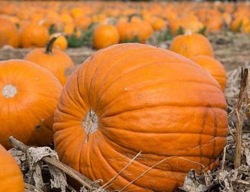 Announcing the 2019 Pumpkin Patch & Maize Maze